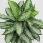 Gallery - Aglaonema Diamond Bay