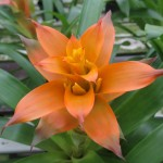 Gallery - Bromeliad Guzmania Hasta La Vista Bloom