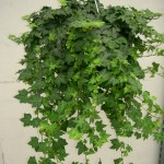 Gallery - Green English Ivy