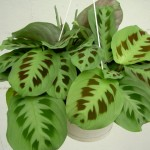 Gallery - Green Maranta