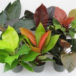 gallery - Philodendron-Hybrid-Family-6-in1