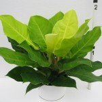 gallery - Philodendron-Hybrid-Moonlight